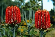 "Banksia coccinea - Banksia is a genus of around 170 species in the plant family Proteaceae. These Australian wildflowers and popular garden plants are easily recognised by their characteristic flower spikes and fruiting ""cones"" and heads. Unusual Flowers, Unusual Plants, Rare Plants, Rare Flowers, Exotic Plants, Cool Plants, Amazing Flowers, Wild Flowers, Cut Flowers"