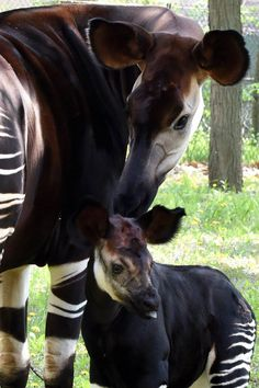 Brookfield Zoo Shares Photos of Newest Okapi Baby Animals Pictures, Cute Baby Animals, Animal Babies, Cute Creatures, Beautiful Creatures, Brookfield Zoo, Okapi, Rare Animals, Zoo Animals