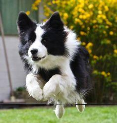 Border Collie....jango agility