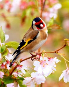 Goldfinch in Springtime...I love how its colors go with the surroundings!