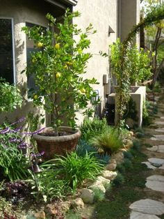 Lemon tree doesn't take up much space and is a focal point in this long narrow side yard.  And It is in a pot another plus
