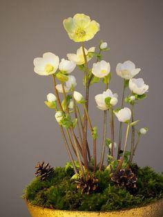 julerose - helleborus niger