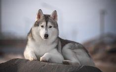 Download wallpapers husky, big dog, winter, pets, dog breeds