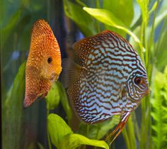 Mosaic Turquoise & Super Pigeon Snake Skin Discus