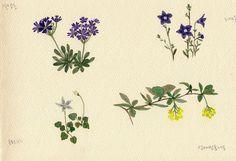 FLOWER FLOWER: 야생화 그려보기(설앵초,홍노도라지, 성매발톱나무, 도라지꽃) practice waterco...