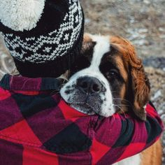 St Bernards, St Bernard Puppy, Dog Pin, Dog Boarding, Dogs Of The World, Boston Terrier, Dog Breeds, Dog Lovers, Saints