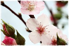 I uterummet blommar tjugotalet körsbärskvistar. Jag har fyllt på dem i repriser och nu ser det ju väldigt trevligt ut med alla dessa vack...