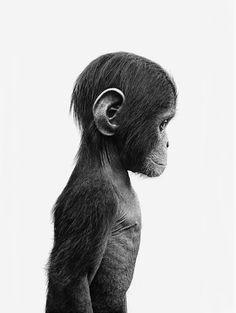 """""""Apan"""" foto av Ulf Rollof"""
