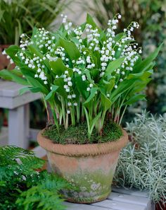 Container Gardening ❧ Lily of the valley - Muguet ❧ - Convallaria Lily of the Valley. A beloved heirloom with intensely fragrant flowers in late spring. The waxy white bells dangle from stiff, upright stalks. Garden Cottage, Garden Pots, Flora Garden, Bonsai Garden, Container Plants, Container Gardening, Hydroponic Gardening, Beautiful Gardens, Beautiful Flowers