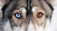 brown/blue eye husky - Google Search
