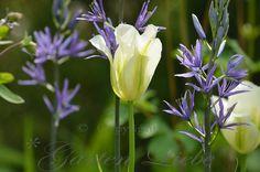 Tulpe Spring Green mit der blauen Prärielilie Camassia leichttlinii Blog Garten-Liebe