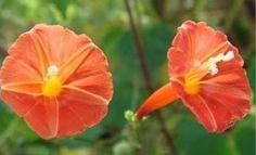Orange Noah Morning Glory    ZONES 3-9.    You will receive 12 seeds + instructions    Easy to grow!!    ORANGE NOAH morning glory. The blossoms form