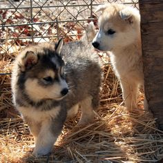 Cute Wolf Pups | Cute Wolf-Dog Puppies - IMG_1585 - PICNIK | Flickr - Photo Sharing!