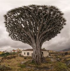 Dracaena tree by Aleksandras Zvirzdinas (Tenerife, Canary Islands, Spain)