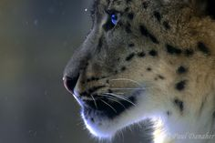 Snow Leopard - © Paul Danaher  www.fb.com/PaulDanaherPhotos …