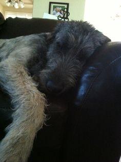 Goji, 9mos, Irish Wolfhound Irish Wolfhound Puppies, Irish Wolfhounds, Big Dogs, I Love Dogs, Scottish Deerhound, Super Cute Animals, Whippet, Animals Beautiful, Animals And Pets