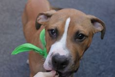 ZENON – A1069790  MALE, TAN / WHITE, AM PIT BULL TER / BOXER, 6 mos STRAY – STRAY WAIT, NO HOLD Reason STRAY Intake condition UNSPECIFIE Intake Date 04/09/2016, From NY 10458, DueOut Date 04/12/2016