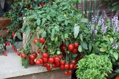 Tomat'Cherry Fountains'Ampeltomat som ger stor skörd av röda goda frukter under lång tid. Höjd cirka 15 centimeter, rankorna blir cirka en meter långa. Rara växter.
