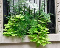 Window Box: Just Green- Ferns & Sweet Potato Vine