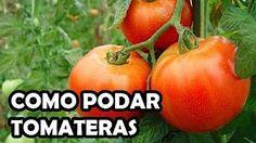 TOMATES - YouTube