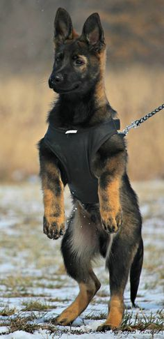 Because everybody loves themselves a German Shepherd pup