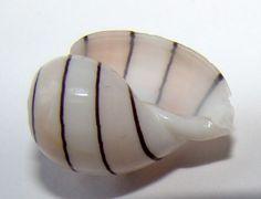 H Amplustre 15 08mm Hawaii Swollen Bubble Shell Hawaiian Specimen Seashell | eBay