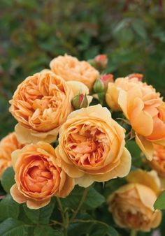 Rosa Carolyn Knight ('Austurner'), David Austin Roses    Named after a former helper at the David Austin nursery who recently passed away, this is a vigorous, almost thornless rose. Its large, double, cup-shaped flowers are gold, while the buds are a deeper orange. Scented.