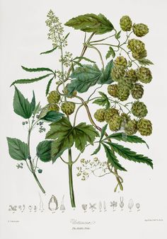 Uriticaceæ, The Nettle Tribe (Hops, Cannabis Sativa) 1849, Elizabeth Twining's Natural Order of Plants