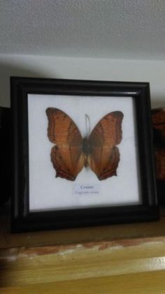 Opgezette Vlinder in Lijst VL8