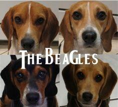 LOL! <3 beagles! http://bit.ly/HdrGqq