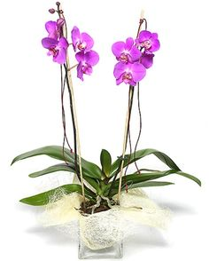 Orquídeas color fucsia • Fuchsia orchids