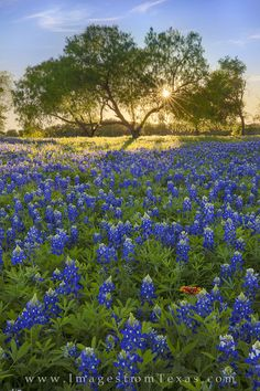 Texas Bluebonnets Canvas Print - Bluebonnets Under A Tree At Sunset 1 by Rob Greebon Texas Sunset, Texas Bluebonnets, Star Wars, Canvas Art, Canvas Prints, Texas Hill Country, Blue Bonnets, Beautiful Places To Visit, Funny Art