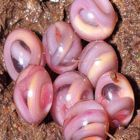 Legless Amphibians - The caecilians are amazing. In freshwater or in a tropical forest, they represent the most snake-like of amphibians, harmless and yet paralleling some of the most significant jumps in evolutionary biology. Spiders And Snakes, Baby Snakes, Ugly Animals, Cute Animals, Ugliest Animals, Crazy Animals, Beautiful Creatures, Animals Beautiful, Beautiful Snakes