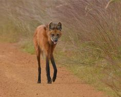 Maned Wolf my first reaction was a fox with a bottom half of a horse.