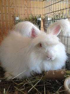 won by betty chu s english angora rabbit best of show pets rh pinterest com AABB Technical Manual AABB Technical Manual