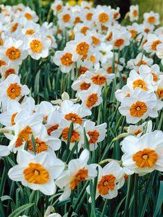 Daffodil Professor Einstein