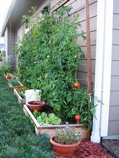 raised beds against the house in back. tomato, garden, vegetable, gardening, small, mini, container