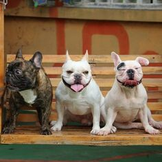 French Bulldogs❤️ Thanks to @chalky0528 for the great photo! Re-pin if you identify with one of the dogs in the photo!