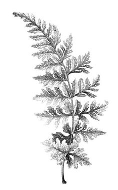 botanical illustration fern black and white - Google Search