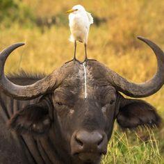 Retrato de un 'desafortunado' búfalo en el Meru National Park, Kenya (Tom Stables, 2016)