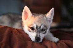 Alaskan Klee Kai Pup