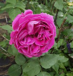 Antique Bourbon rose
