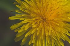 Macro close up of dandelion flower - David Olds