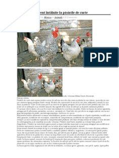 retete furaj Curtido, Ouat, Rooster, Animals, Animales, Animaux, Animal, Animais, Chicken