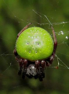 Green Pea Spider, Araneus apricus. I thought this must be fake-- but it's real! Native to Africa.