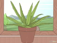 Image intitulée Grow and Use Aloe Vera for Medicinal Purposes Step 3 …