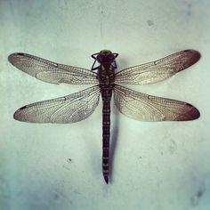 En ekte øyenstikker endte sitt liv i hagen vår. Jeg elsker øyenstikkere. #øyenstikker #dragonfly www.anmagritt.no