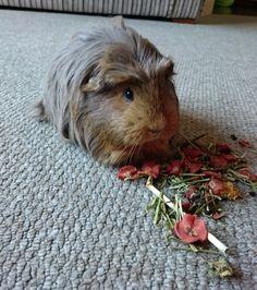 guinea pig exploring