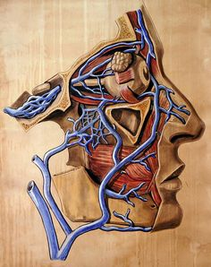 From a much larger collection of anatomical literature and drawings at Heidelberg University comes this surprisingly beautiful illustration by Elisa Schorn. Anatomy Drawing, Anatomy Art, Human Anatomy, Weird Science, Science Art, Blood Vessels Anatomy, La Face, Bizarre, Human Body