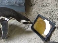 Penguin with an i pad---cute!